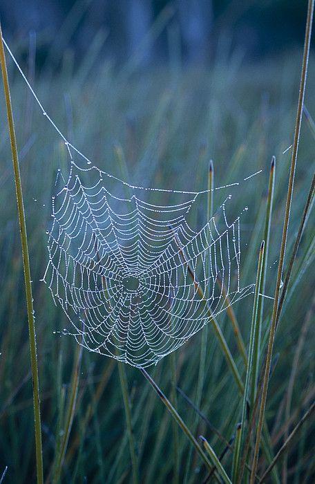 pânză de păianjen